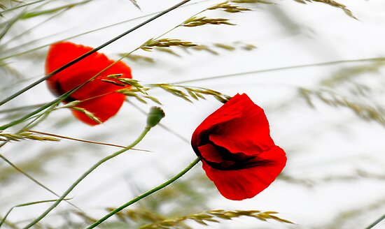 poppies in the wind - photo #1