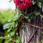 Rose on stump by kk5hy