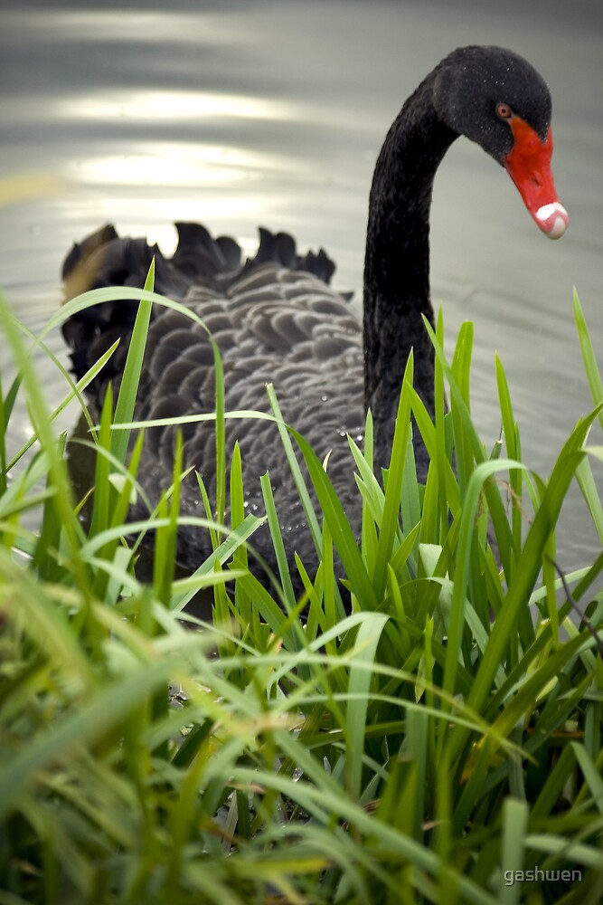 black swan by gashwen