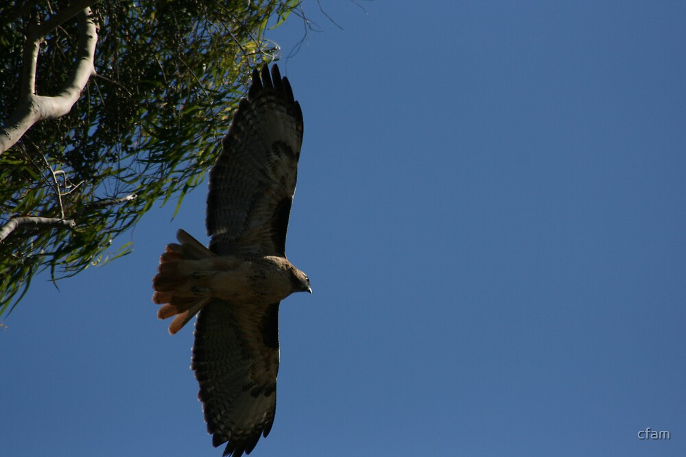 Red Tail Hawk in flight by cfam