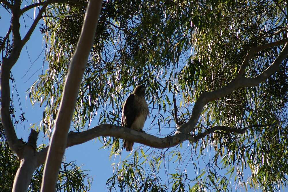 Red Tail Hawk in Tree by cfam