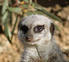 Curiosity Killed The Meercat by Skye Davidson
