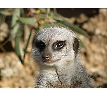 Curiosity Killed The Meercat Photographic Print