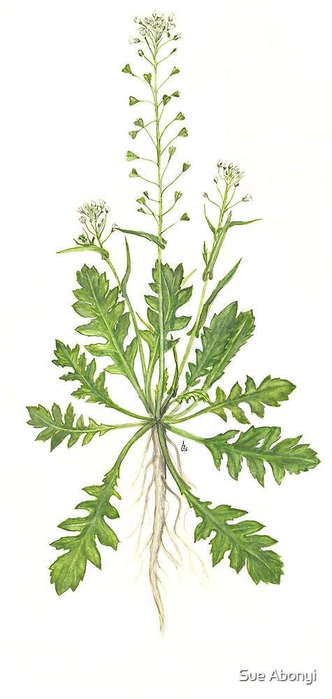 Shepherd's Purse - Capsella bursa-pastoris by Sue Abonyi