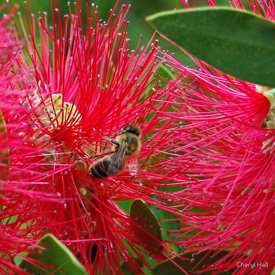 Bee in a bottlebrush. by Cheryl Hall