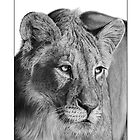 Lioness by stevej061069