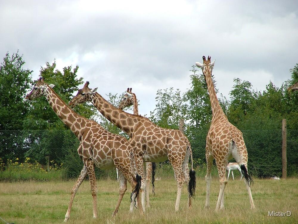 Giraffes by MisterD