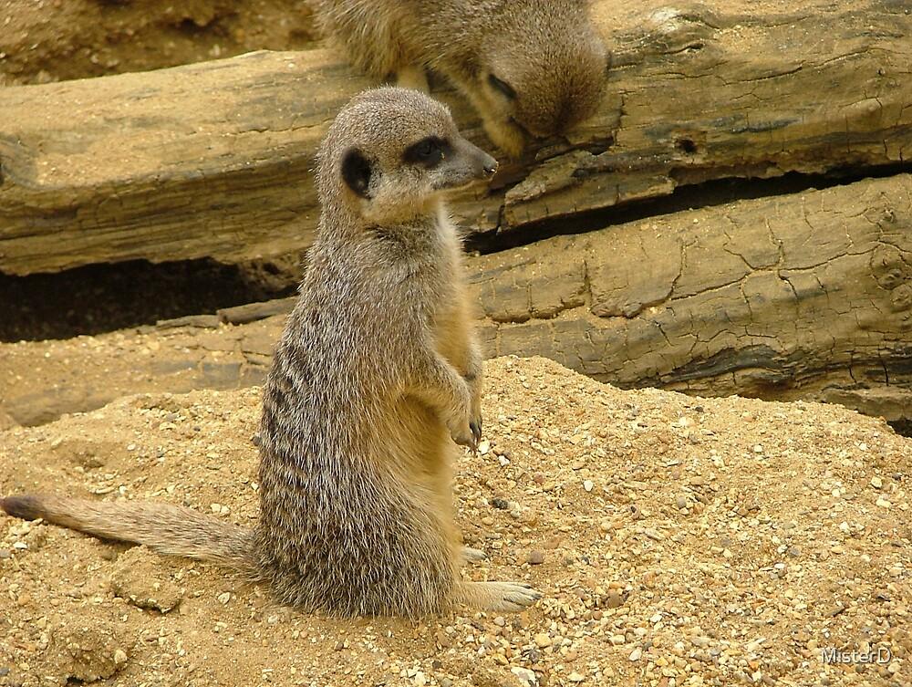 Meerkat by MisterD