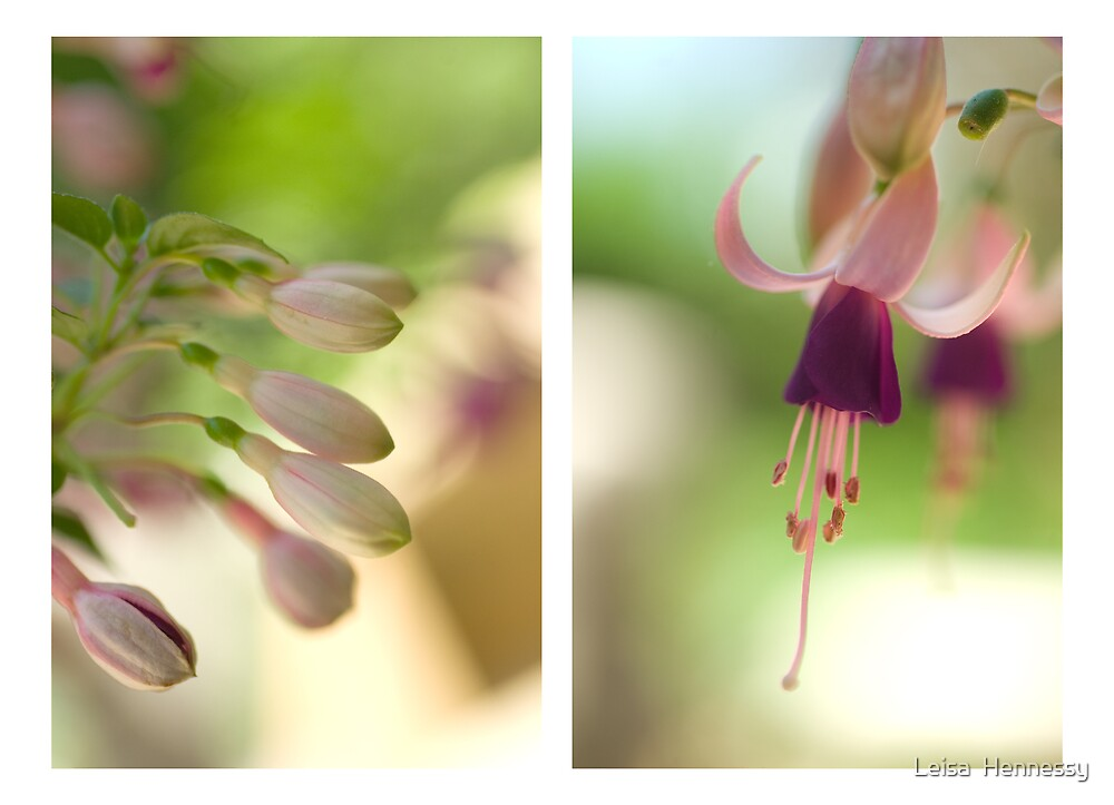 Fuchsia by Leisa  Hennessy