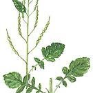 Wild Radish - Raphanus raphanistrum by Sue Abonyi