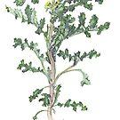 Groundsel - Senecio vulgaris by Sue Abonyi