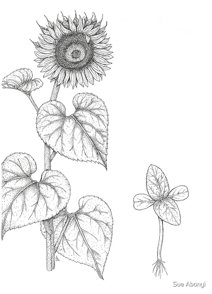 Sunflower study by Sue Abonyi