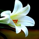 White lily by Luis Correia