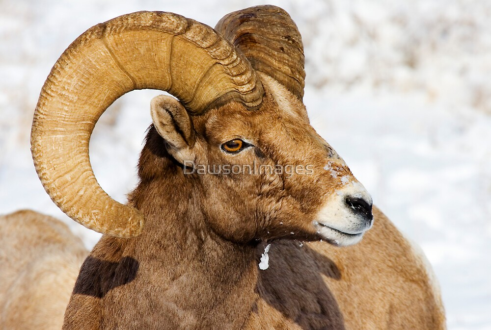 Regal Ram by DawsonImages