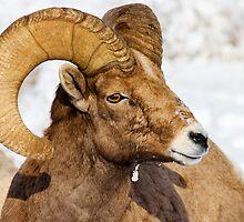 Regal Ram by DawsonImages