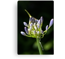 A Glow On Agapanthus Canvas Print