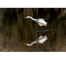 Great Egret ~ Scruffy  Photographic Print