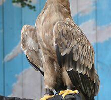 tawny eagle by roscoe1