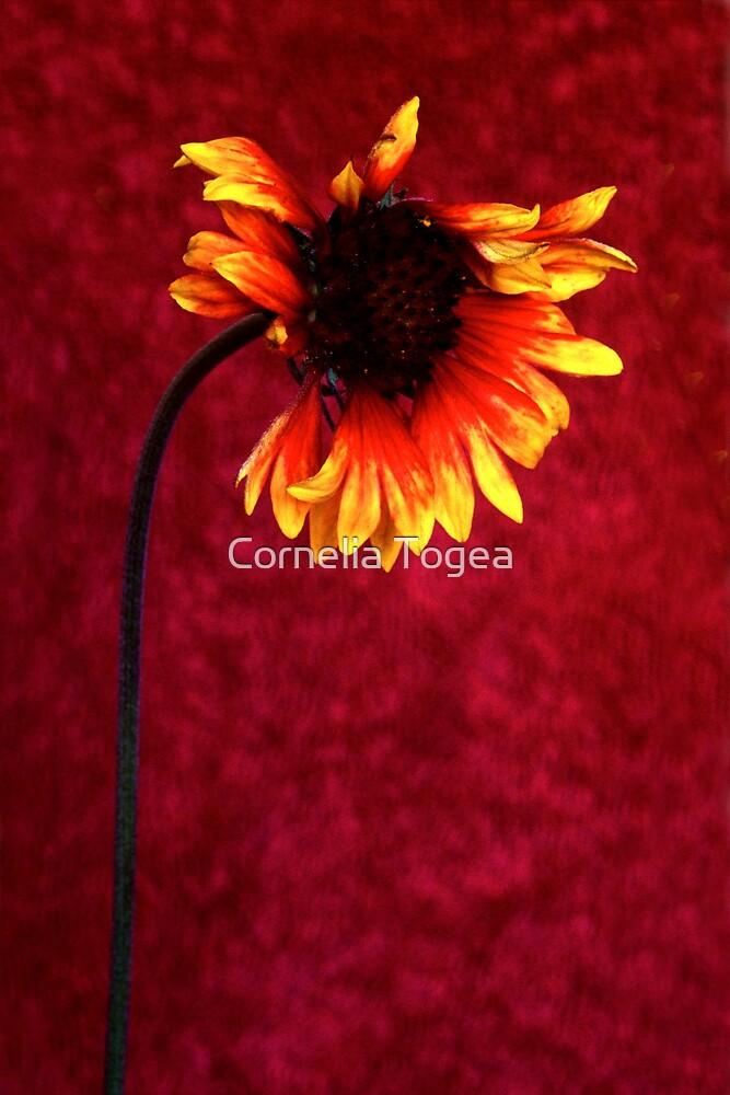 fading flower by Cornelia Togea