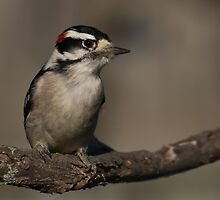 Downy Woodpecker III by Leisa  Hennessy