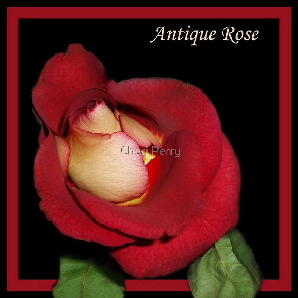 Antique Rose by Cheri Perry