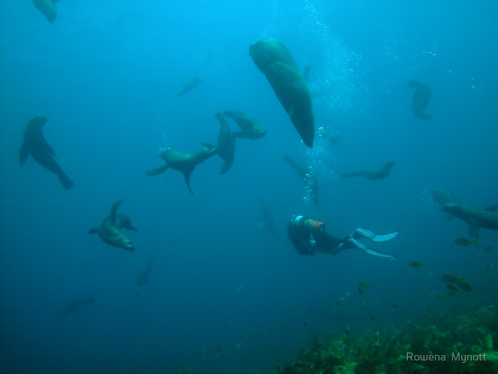 Narooma seals by Rowena  Mynott