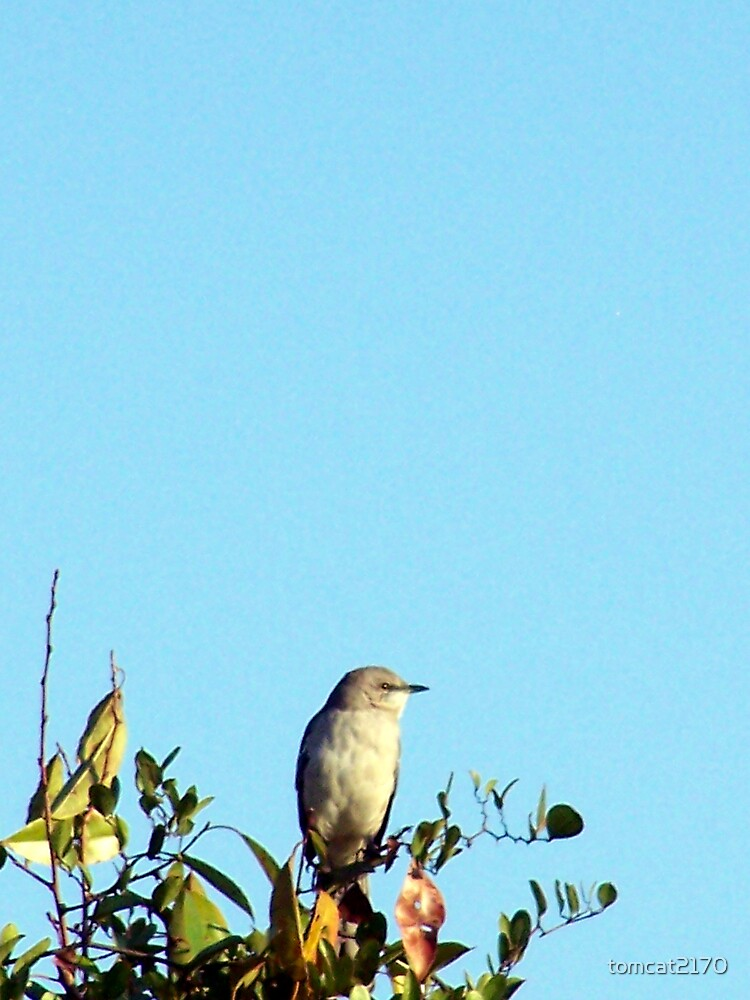 mockingbird on guard by tomcat2170