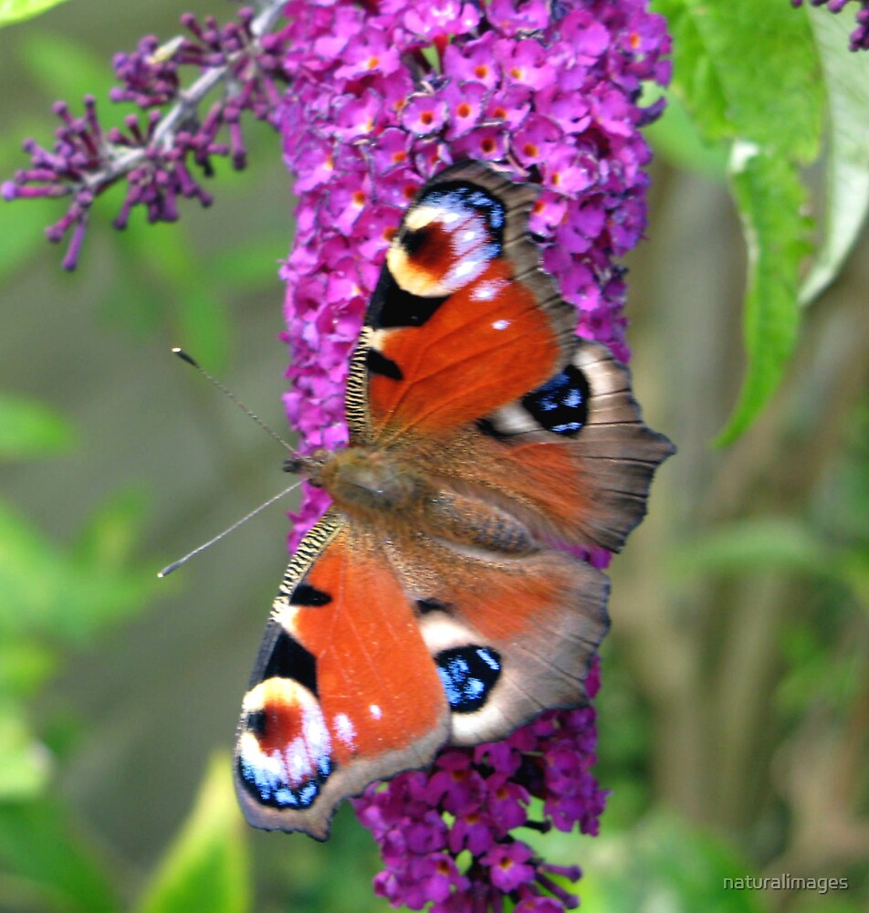 red Admiral on buddleia by naturalimages