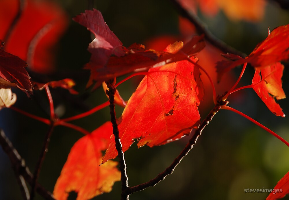 Autumn leaves by stevesimages