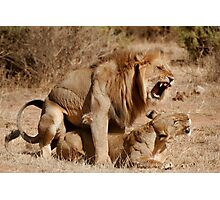 Lion Love Photographic Print