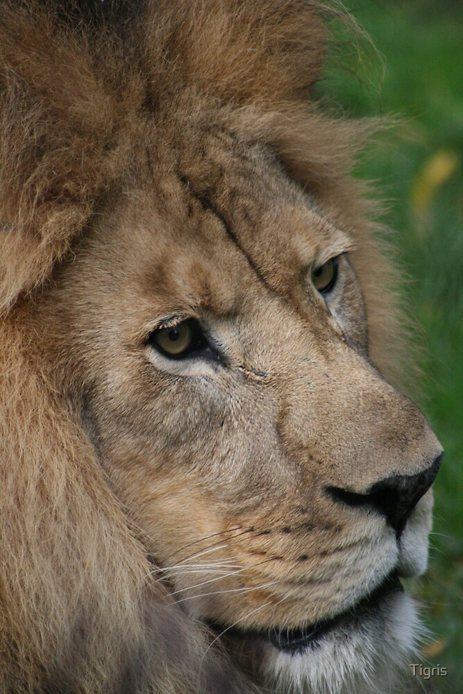 King of the Jungle by Tigris