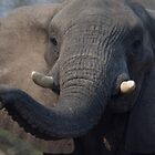 Elephant portrait by Erik Schlogl