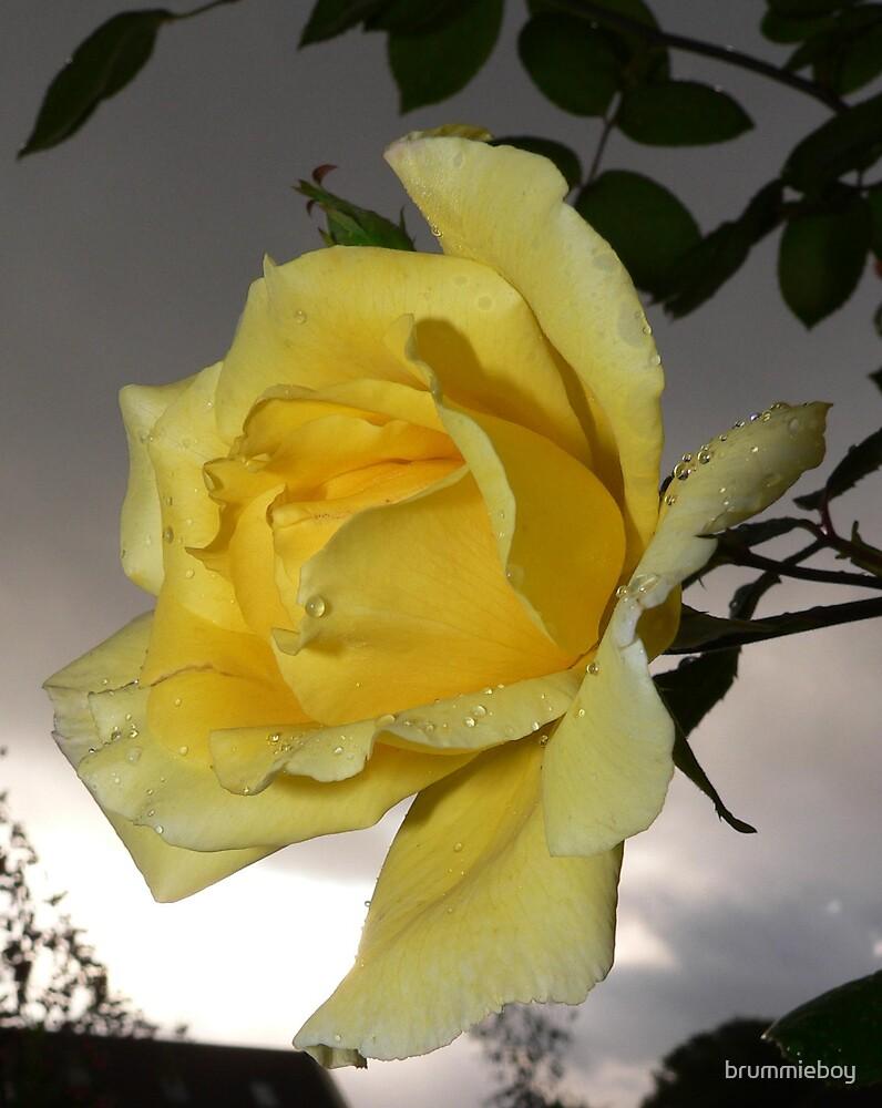 Stormy rose by brummieboy