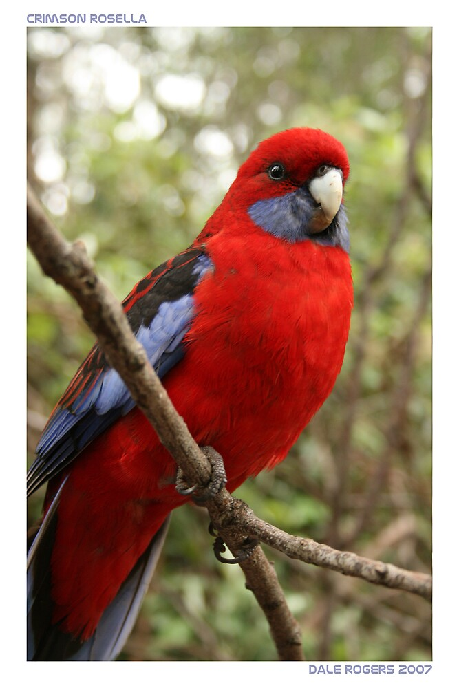 Crimson Rosella by dale rogers