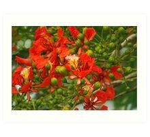 Red Flamboyant Flowers Art Print