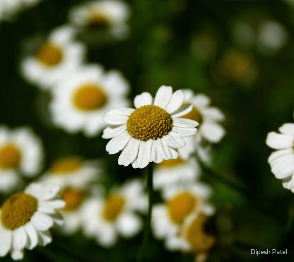 Daisies by Dipesh Patel