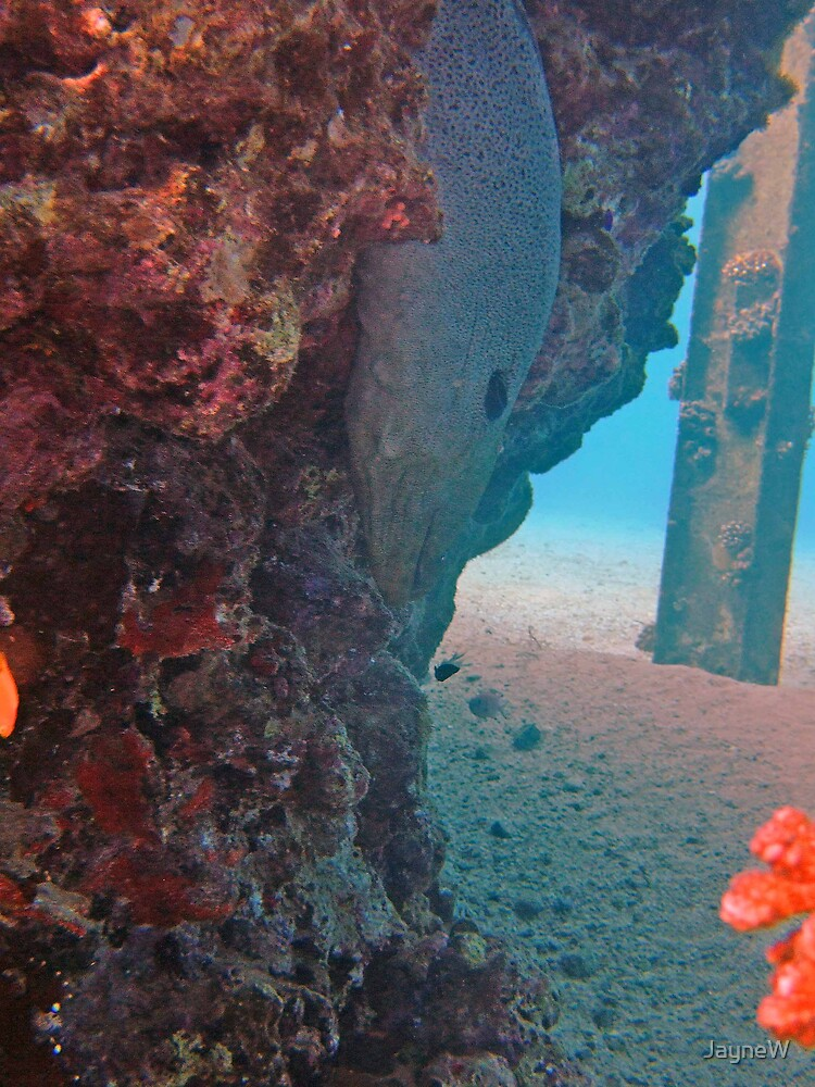 giant moray under the pier by JayneW