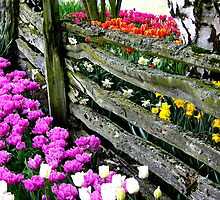 Tulip Fence by Rick Lawler