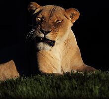 Lion by BBCsImagery
