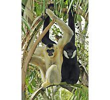White Cheek Gibbons. Photographic Print