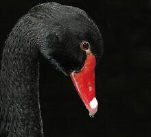 Black Swan by Aussiebluey