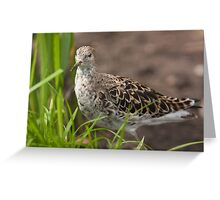 Female Ruff Greeting Card