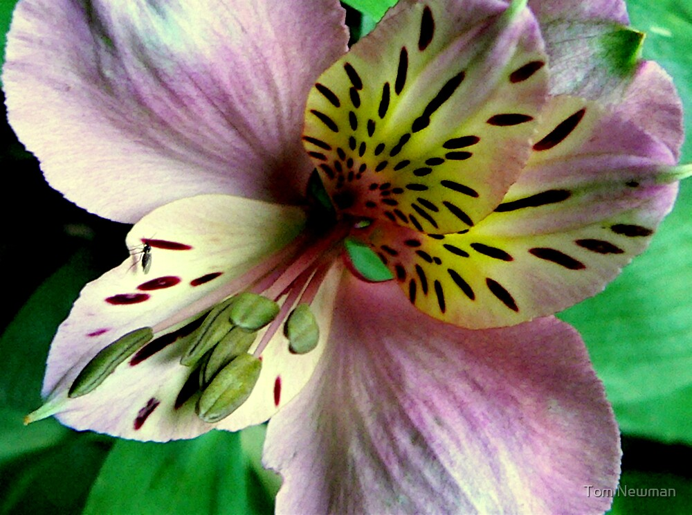 Peruvian Lily by Tom Newman