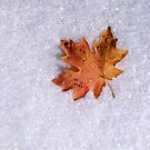 Maple on Snow by mymamiya