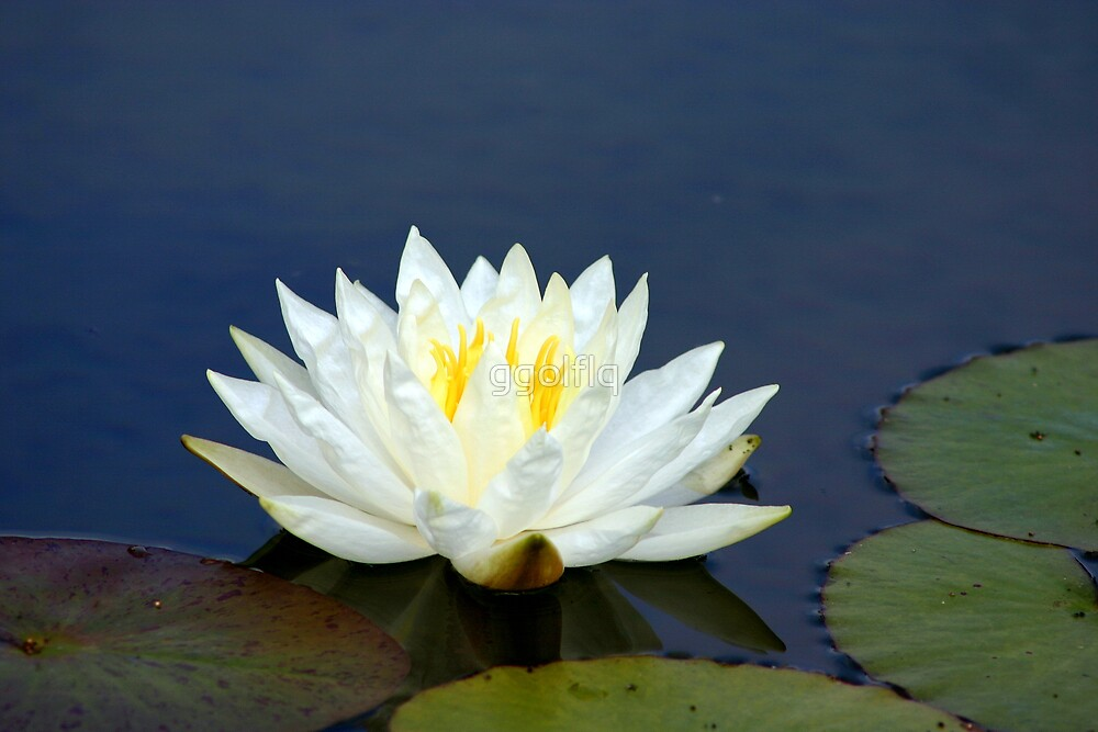 Single White Water LIlly by ggolflq