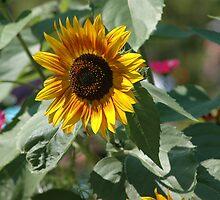Sunflower by ©FoxfireGallery / FloorOne Photography