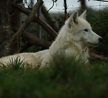 The thinking Wolf by WizardPhotos
