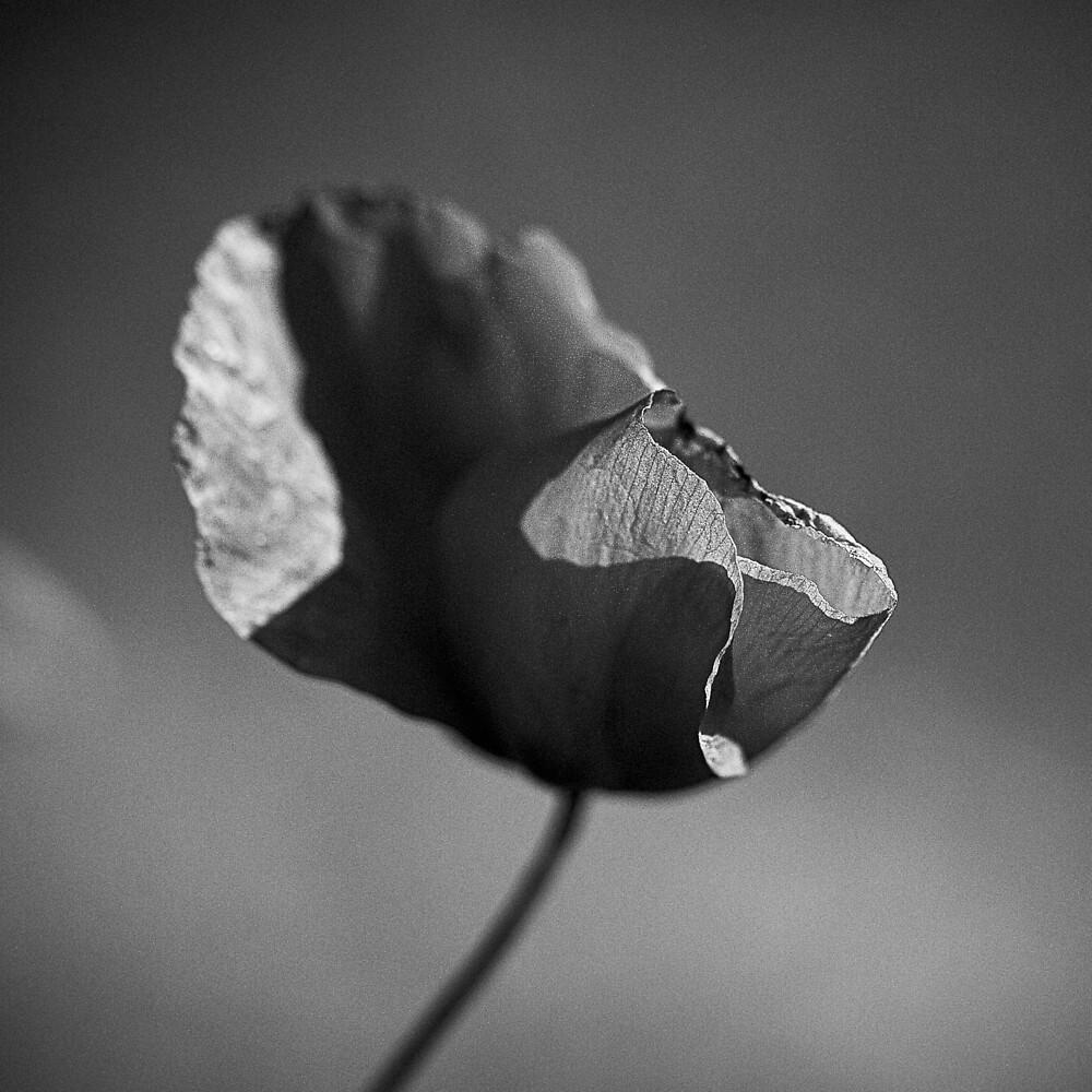 Poppy by Michael Mancini