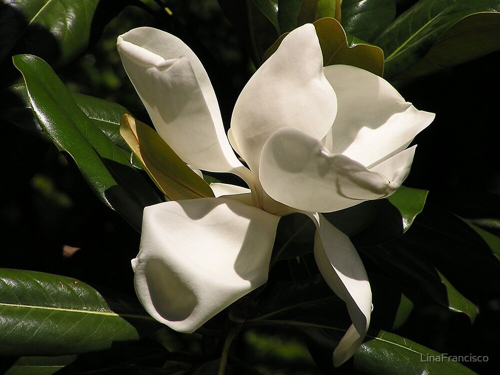 Southern Magnolia by LinaFrancisco