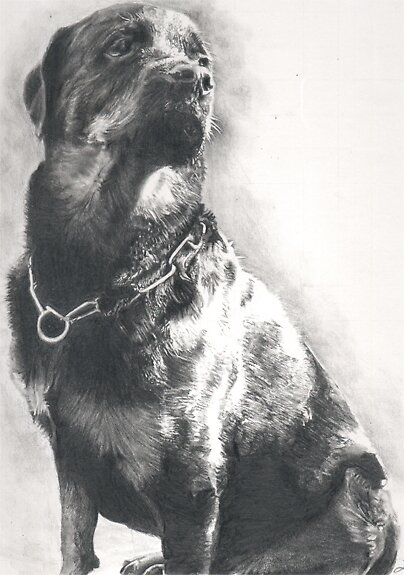 Rottweiler Pencil Drawing by onlypencil